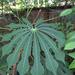 Manihot grahamii - Photo (c) prairieplants, כל הזכויות שמורות