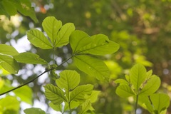 Allophylus psilospermus image