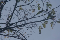 Annona purpurea image