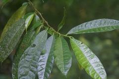 Trophis caucana image
