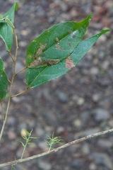 Alchornea costaricensis image