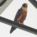 Shaheen Falcon - Photo (c) Afsar Nayakkan, some rights reserved (CC BY)