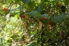 Helicteres guazumifolia image