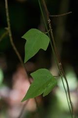 Passiflora auriculata image