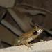 Maracaibo Basin Treefrog - Photo (c) biojenniferdrg, all rights reserved, uploaded by Jennifer Del Rio