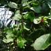 Berberis amurensis - Photo (c) Desiree Andersen, כל הזכויות שמורות