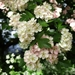 Crataegus monogyna - Photo (c) Annice Bridgett, όλα τα δικαιώματα διατηρούνται