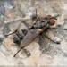 Stevenia deceptoria - Photo (c) RAP, todos los derechos reservados