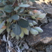 Astragalus monophyllus - Photo (c) Oyuna Batlai, all rights reserved