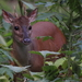 Red Brocket - Photo (c) Fábio Olmos, all rights reserved