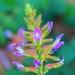 Glycyrrhiza uralensis - Photo (c) Доржбат 'Ж, todos los derechos reservados