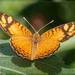 Orobia - Photo (c) RAP, todos los derechos reservados