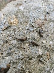 Papillifera papillaris image