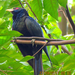 Eudynamys scolopaceus - Photo (c) Angela Christine Chua, todos los derechos reservados