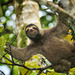 Three-toed Sloths - Photo (c) naturundfoto, all rights reserved
