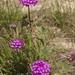 Abronia ameliae - Photo (c) Layla, todos los derechos reservados, uploaded by Layla Dishman