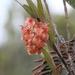 Epidendrum gratissimum - Photo (c) Andres Laguna, όλα τα δικαιώματα διατηρούνται