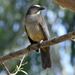 Grayish Saltator - Photo (c) Liesbeth Kruythoff-Flohil, all rights reserved, uploaded by Liesbeth