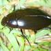 Hydrophilus ensifer duvali - Photo (c) Jay L. Keller, all rights reserved