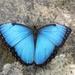 Mariposa Morfo Azul Común - Photo (c) Edgar Abel Toribio Pèrez, todos los derechos reservados