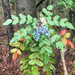 Leatherleaf Mahonia - Photo (c) wayno, all rights reserved