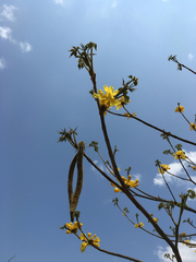 Handroanthus ochraceus image