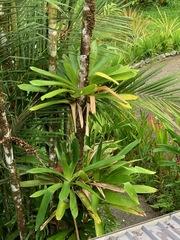 Werauhia gladioliflora image