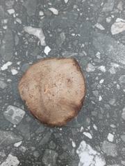 Fevillea cordifolia image