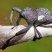 Rhyephenes humeralis - Photo (c) Fernando Tellez, כל הזכויות שמורות