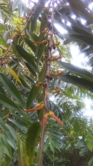 Xylopia aromatica image