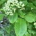 Siebold's Viburnum - Photo (c) michaelgambino, all rights reserved