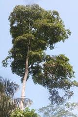 Cordia bicolor image