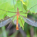 Crane Flies - Photo (c) Valter Jacinto, all rights reserved