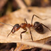 Wood, Mound, and Field Ants - Photo (c) Isfugl, some rights reserved (CC BY-NC-SA)
