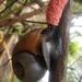 Pomacea maculata - Photo (c) Kristen Hoss, todos los derechos reservados