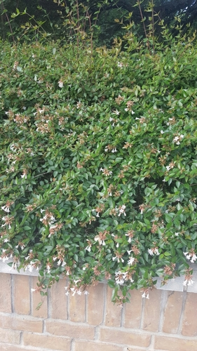 Unidentified bush w white flowers honors 236001 spring 2017 theyre very dense with leaves and have numerous tiny white flowers this kind of shrub seems to grow quite mightylinksfo