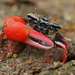 Splendid Fiddler Crab - Photo (c) Qianle Lu, some rights reserved (CC BY-NC-SA)