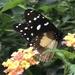 Amauris echeria jacksoni - Photo (c) tenwek, todos os direitos reservados