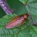 Cucarachas Gigantes Y de la Madera - Photo (c) Marcello Consolo, algunos derechos reservados (CC BY-NC-SA)