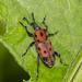 Rhodobaenus tredecimpunctatus - Photo (c) MaLisa Spring, todos los derechos reservados