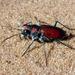 Mescalero Sand Tiger Beetle - Photo (c) danjleavitt, all rights reserved, uploaded by Dan Leavitt