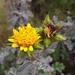 Berkheya heterophylla radiata - Photo (c) Michael Griffiths, todos los derechos reservados