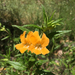 Diplacus aurantiacus aurantiacus - Photo (c) olee, all rights reserved