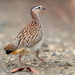 Crested Francolin - Photo (c) Carl Downing, all rights reserved