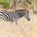 Plains Zebra - Photo (c) Carl Downing, all rights reserved
