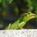 Bronchocela jubata - Photo (c) tiskaayumi, todos los derechos reservados