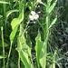 Sagittaria lancifolia - Photo (c) Wayne Covington, כל הזכויות שמורות