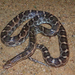 Texas Glossy Snake - Photo (c) micahearnest90, all rights reserved