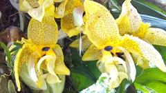 Image of Stanhopea oculata