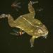 Edible Bullfrog - Photo (c) rrommel, all rights reserved, uploaded by rrommel